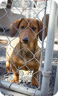 Sherwood, OR - Dachshund Mix. Meet Honey a Puppy for Adoption.I am already spayed, housetrained, up to date with shots, good with kids, good with dogs, and good with cats.