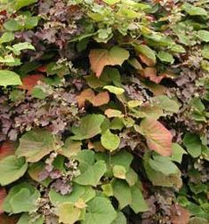 Vitis coignetiae Crimson Glory Vine, grows in dappled shade, climber suitable as groundcover, leaves used to wrap food in, give special taste, yellow dye.