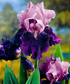 Bearded Iris 'Blue Bird Wine'   Plants from Bakker Spalding Garden Company #beautifulgardens