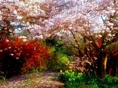 Japanese - cherry - tree