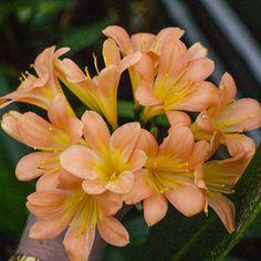Clivia miniata, Julia D.  Colorado Clivia's plant no. 2367A.