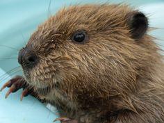 Bi-State Wildlife Hotline Inc. - Beaver Information Bi-State ...