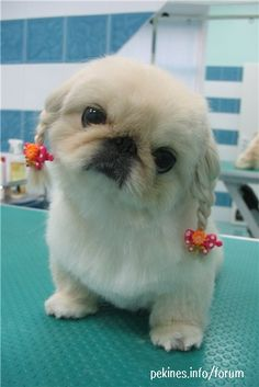 White Pekingese haircut for summer.  Photo from forum