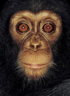 Beautiful chimp