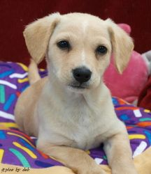 Fitz is an adoptable Dachshund Dog in Mobile, AL. FITZ is an adorable male Dachshund / Golden Retriever mix puppy and is approximately 2 months old (May 2013). Their owner left FITZ and his sisters in...