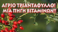 Άγριοτριανταφυλλά (Κυνορρόδη)! Μια πηγή βιταμινών!! - YouTube Fruit, Vegetables, Youtube, Vegetable Recipes, Youtubers, Veggies, Youtube Movies