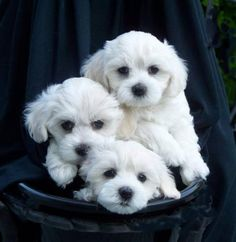 Maltese Puppies!
