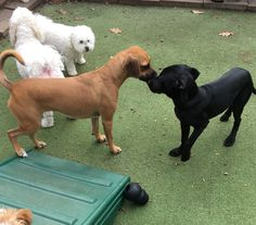 Olive welcomes Paisley to #DoggieDaycare #Hello #Puggle #LabLove