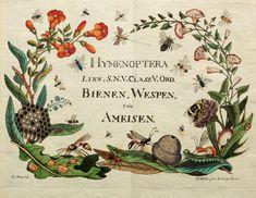 atlas - Naturgeschichte, Klassification und Nomenclatur der Insekten vom Bienen, Wespen und Ameisengeschlecht : - Biodiversity Heritage Library 1791 - FABULOUS!