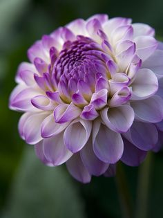 Purple-tipped Dahlia - by Theresa Elvin