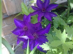 Клематис - наш сад, июнь, 2013.