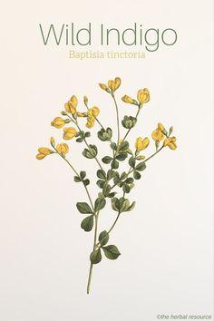 Wild Indigo Baptisia tinctoria