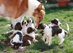 A mama Borzoi with her pups
