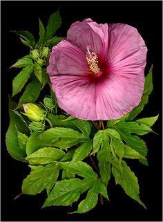 Melissa's Hibiscus - La Vie En Rose (Pinks) 2 - Scanner Photography By Ellen Hoverkamp