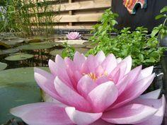 Lotus zelf gefotografeerd in eigen tuinvijver.