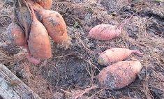 ako vypestovať sladké zemiaky. Sladké zemiaky Fruit Garden, Potatoes, Vegetables, Food, Potato, Veggies, Orchards, Vegetable Recipes, Meals