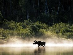pictures of moose | ... Climate Changes Turn Minn.'s North Woods into a Moose Graveyard