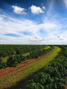 Brazilian Coffee Plantation