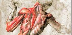 Huesos, pares craneales, corazón, músculos, tractos espinosos, arterias, nervios, hígado, pulmones... la Anatomía Humana es el primer at