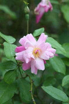 'Old Blush Rose' | China / Bengale Rose. Unknown Chinese Breeder(s) (China, before 1793) | Flickr - © seedmoney1