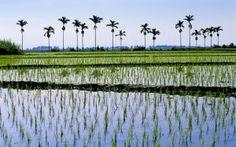 Rice paddies in Taiwan