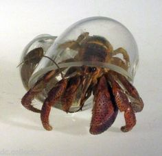 BRAND NEW--Hand Blown Crystal Clear Glass Hermit Crab Shell--See Through!! WOW! on eBay!