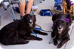 Springfield, MO - Border Collie/Retriever (Unknown Type) Mix. Meet Asia and Lucy, a dog for adoption. http://www.adoptapet.com/pet/16762581-springfield-missouri-border-collie-mix