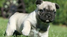 Frugg - French Bulldog and Pug Pug Zu, Corgi Pug, Cute Pugs, Cute Puppies, Pug Mixed Breeds, Pug Cross, Black Pug Puppies, Pug Pictures, Dog Mixes