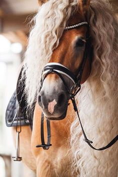 Storm is a gorgeous Haflinger horse that lives in the Netherlands with her owner Naomi Beckers. Funny Horses, Cute Horses, Pretty Horses, Horse Love, Horse Girl, Cowgirl And Horse, Baby Horses, Baby Animals Super Cute, Pretty Animals