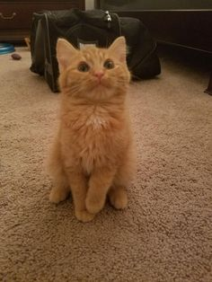 My new kitten Iroh. He is so full of love and affection. This was the moment I brought him home. If you scroll through my phone's picture gallery right now it's just one big orange blurr.