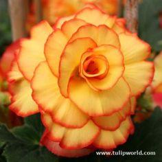 Beautiful Begonias | Flower Bulb Crazy