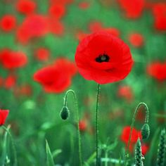 How to Plant Poppy Seeds. One of my most favorite flowers! Very popular and common in England!(: