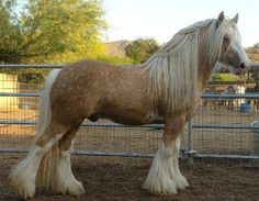 """Another pinner said, """"Dapple palomino Gypsy Vanner. This one is for MEEEEEEeeeeeee! Big Horses, Horses And Dogs, Horse Love, Black Horses, Work Horses, Horse Photos, Horse Pictures, Most Beautiful Animals, Beautiful Horses"""