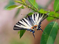 The Scarce Swallowtail (Iphiclides podalirius)