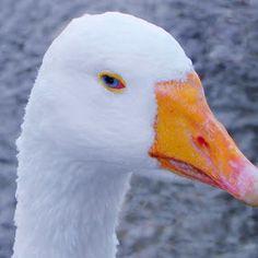 Old Blue Eyes by Brenda Bihlear - Animals Birds ( bird, anatidae, fowl, duck, goose,  )