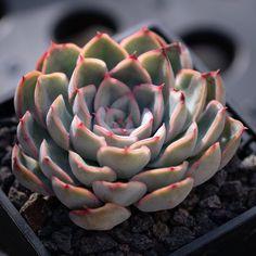 Echeveria Orion 猎户座 2019-04-06 #多肉植物 #succulents #echeveria #多肉