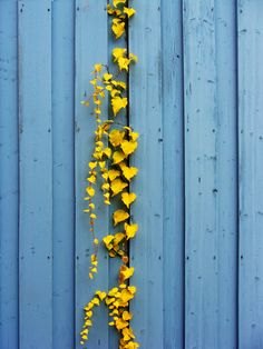 blue wall, yellow vine