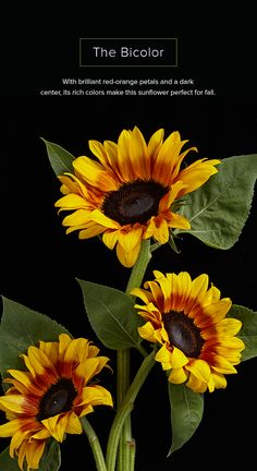 They may be typically associated with the warm days of summer, but we say keep them around all year long. Sunflower Facts, Planting Sunflowers, Sausages, Hopeless Romantic, Health Benefits, Thankful, Gardening, Warm, Plants