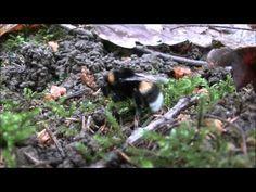 """Bourdon & mycélium - Permaforêt. - YouTube les hyménoptères récoltent du mycélium comme matériau de construction pour leur nid et aussi pour stimuler leurs défenses immunitaires en suçant des enzymes fongiques sur les hyphes du mycélium. Paul Stamets a tenu une conférence sur ce phénomène qu'il a découvert """"how mushrooms can save the bees"""". https://www.youtube.com/watch?v=DAw_Zzge49c"""