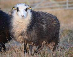 Grey sneedled setnin. Shetland sheep.  Sneedled: dark with white head. Setnin: motherless lamb raised by hand