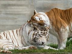 Gorgeous Tigers
