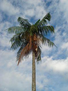 A juçara ou içara, também chamada jiçara, palmito-juçara, palmito-doce, palmiteiro e ripeira, é uma palmeira nativa da Mata Atlântica, no Brasil, que dá o palmito do tipo juçara. Está ameaçada de extinção.