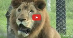 Click to share in a fabulous moment when Will the lion finally feels the earth beneath his paws.