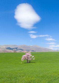Cherry Tree, Hokkaido, Japan
