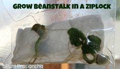 Grow Beanstalk in a Ziplock ! ~ Puttis World-kids-activities...includes book ideas