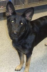 09-100 (09/24/13) is an adoptable Shepherd Dog in Akron, OH. Adopting a friend~ Dogs (and puppies) are $ 90.00 : $ 76.00 for the adoption / $ 14.00 for the licenses Cats (and Kittens) are $60.00 : $60...