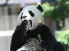 funny panda - Google Search
