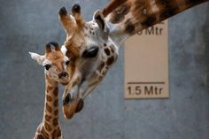 WATCH: Endangered Rothschild Baby Giraffe Stands For The First Time