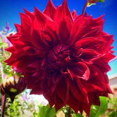Our amazing 'Giant' dahlia blooms.