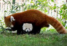 Baby Red Panda Sherman Makes Autumn Appearance At Detroit Zoo (my daughter's favorite animal!)